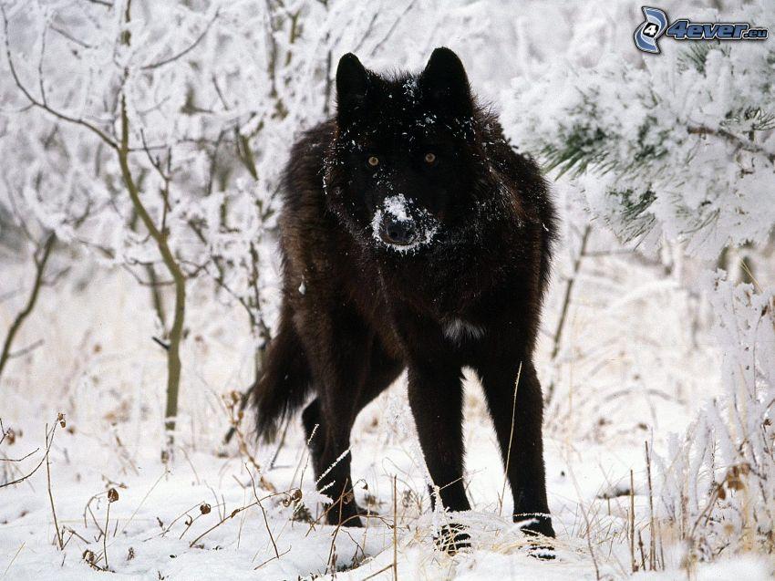 black wolf, snow, winter