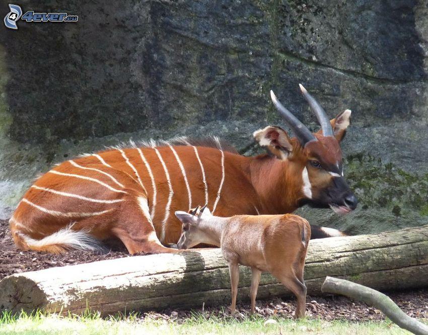 Bongo, cub