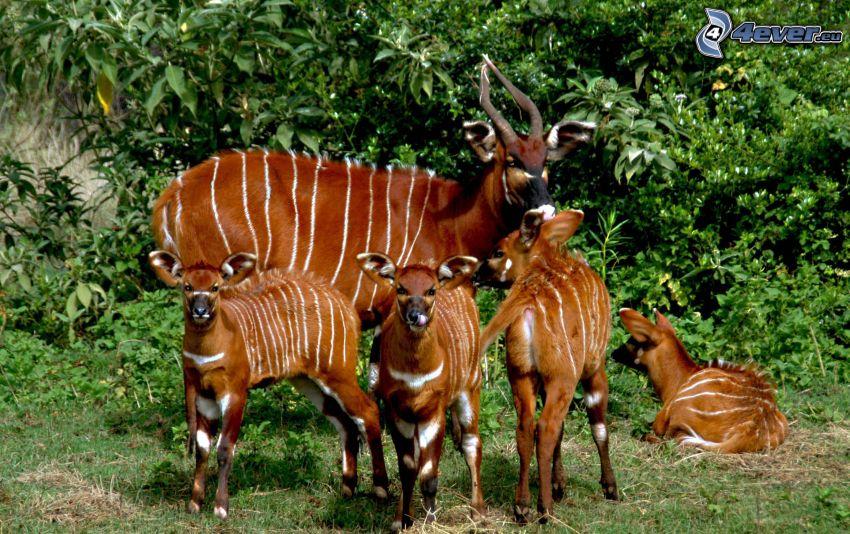 Bongo, cubs