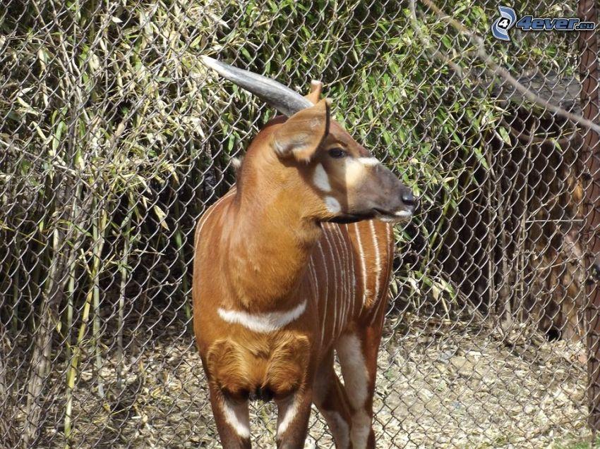 Bongo, fence