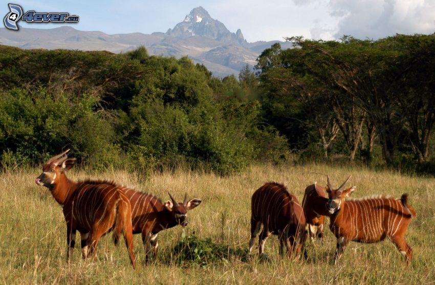 Bongo, rocky mountains, forest