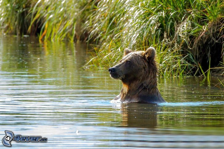 brown bear, bath