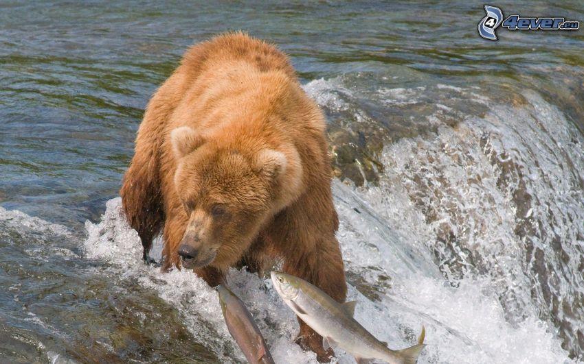 brown bear, fish, hunting, waterfall