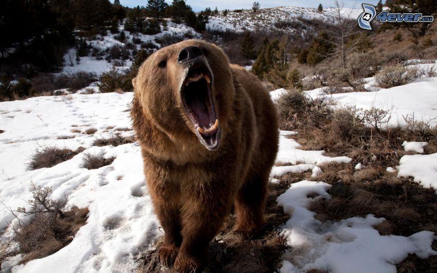 brown bear, muzzle, scream, snow