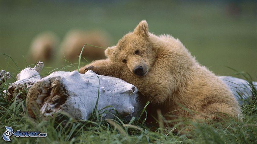 brown bear, stump