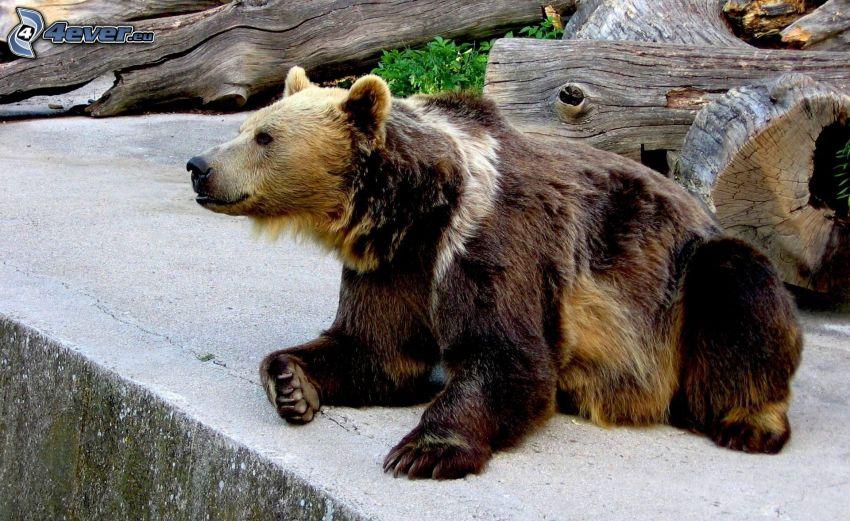 brown bear, ZOO