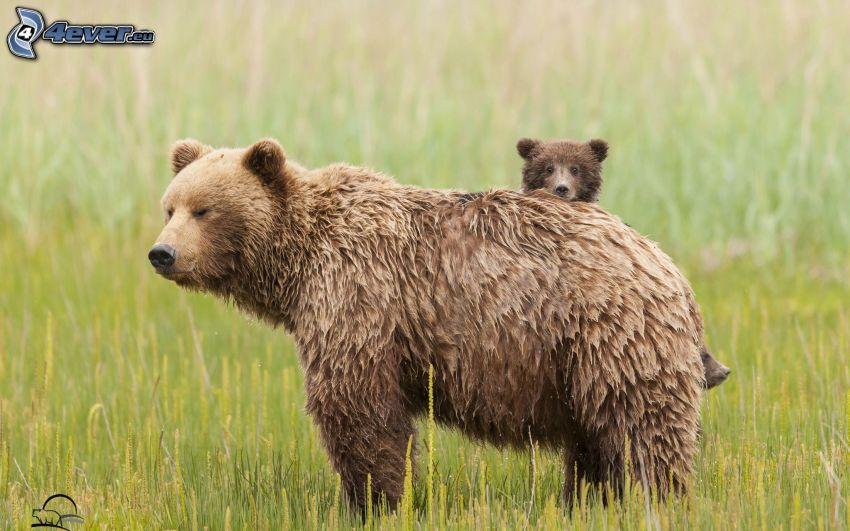 brown bears, cub