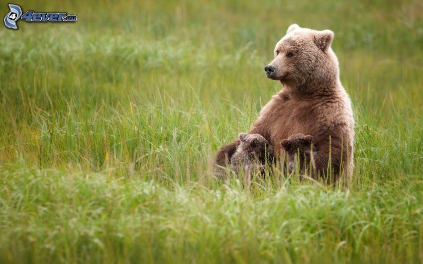 brown bears, cubs, green grass