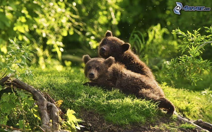 brown bears, cubs, nature