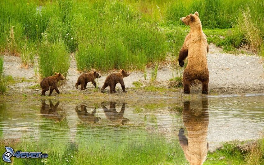 brown bears, cubs, stream, green grass