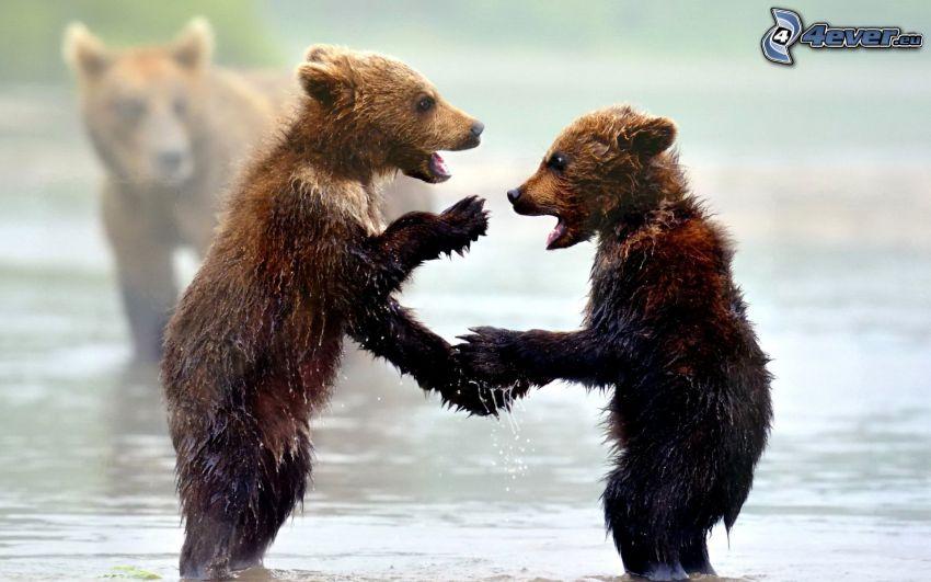 brown bears, cubs, water