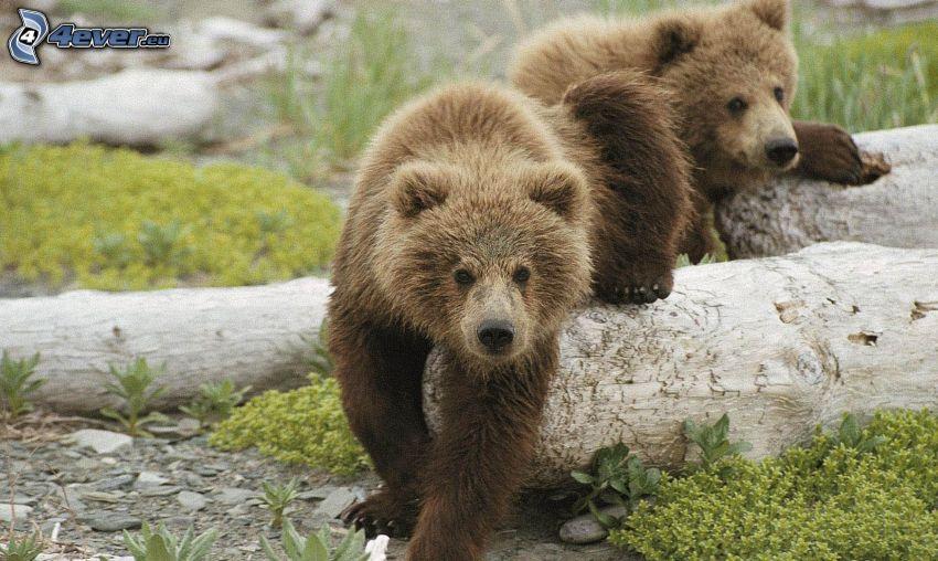 brown bears, cubs
