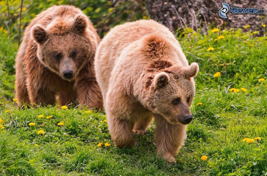brown bears, dandelion