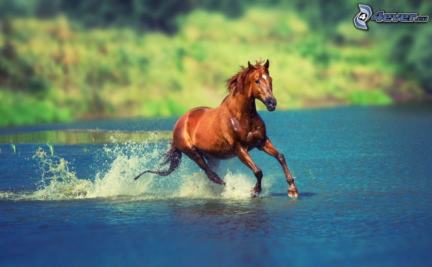 brown horse, water