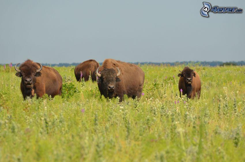bulls, meadow