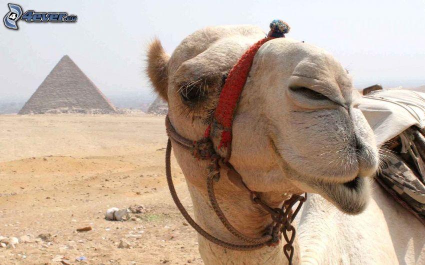 camel, pyramid