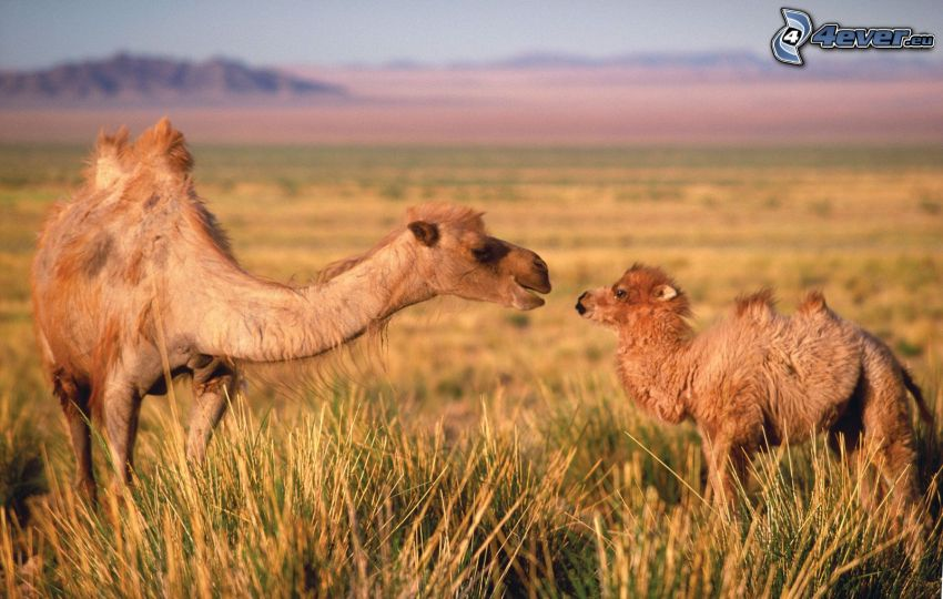 camels, young camel, meadow