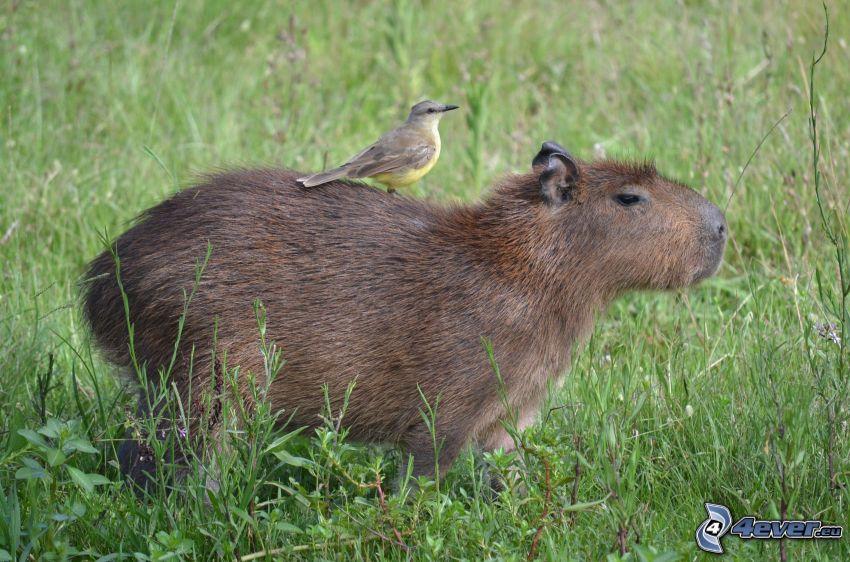 capybara, bird