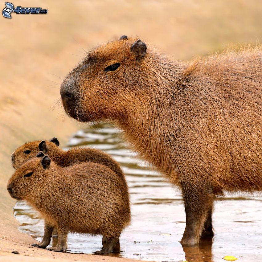 capybara, cubs