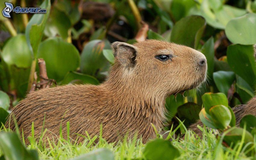 capybara, green leaves