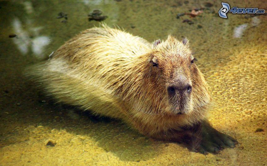 capybara, water