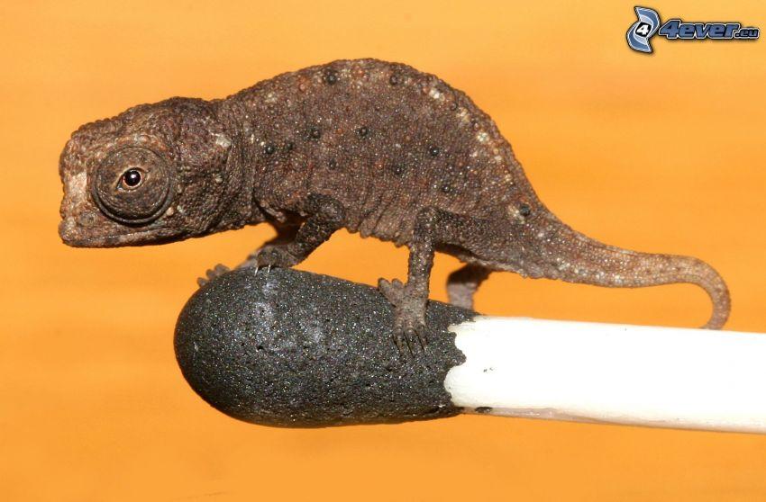 chameleon, match