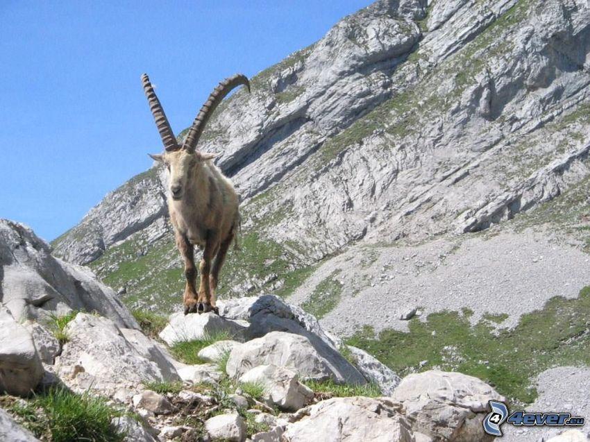 chamois, rocky mountain