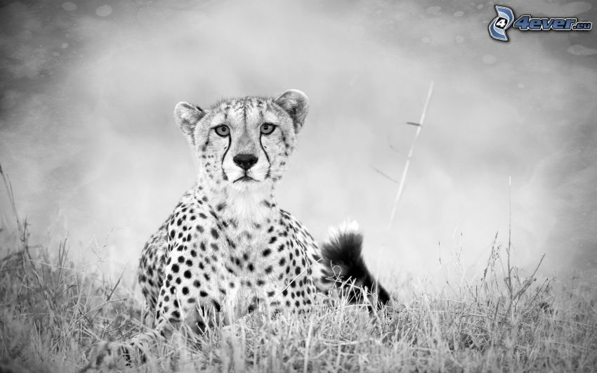 cheetah, black and white photo