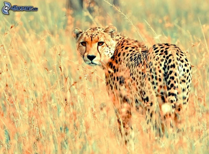 cheetah, dry grass