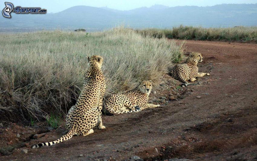cheetahs, mountain, road