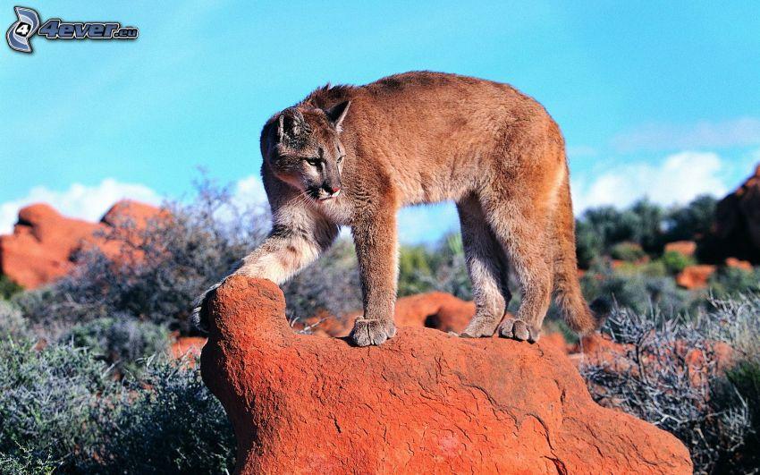 cougar, boulder
