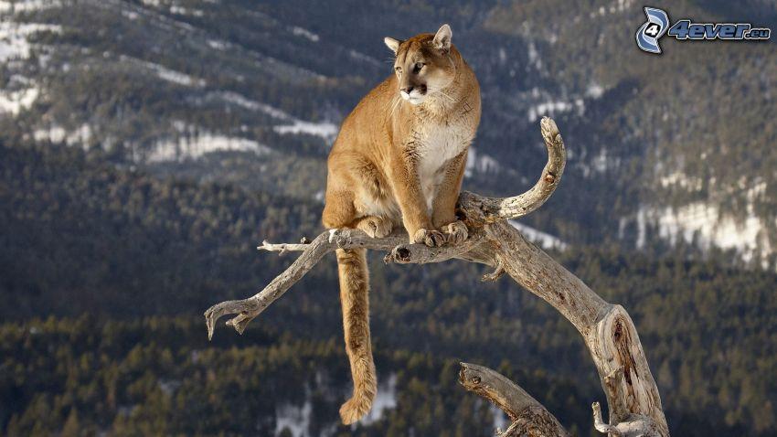 cougar, dry tree, snowy hills
