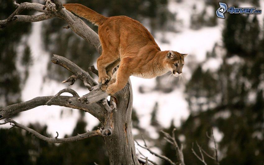 cougar, dry tree