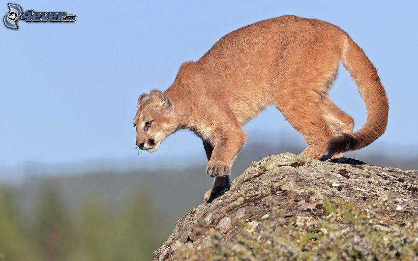 cougar, rock