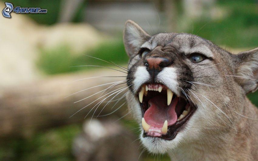 cougar, scream