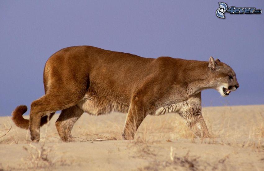 cougar, steppe