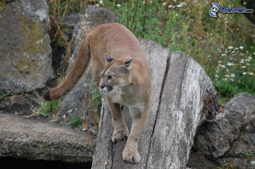 cougar, stump