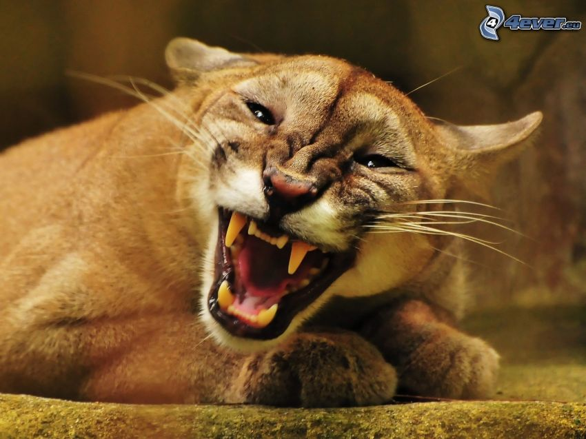 cougar, teeth