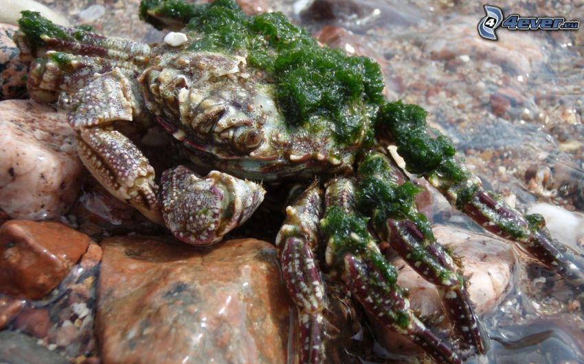 crab, algae, rocks, water