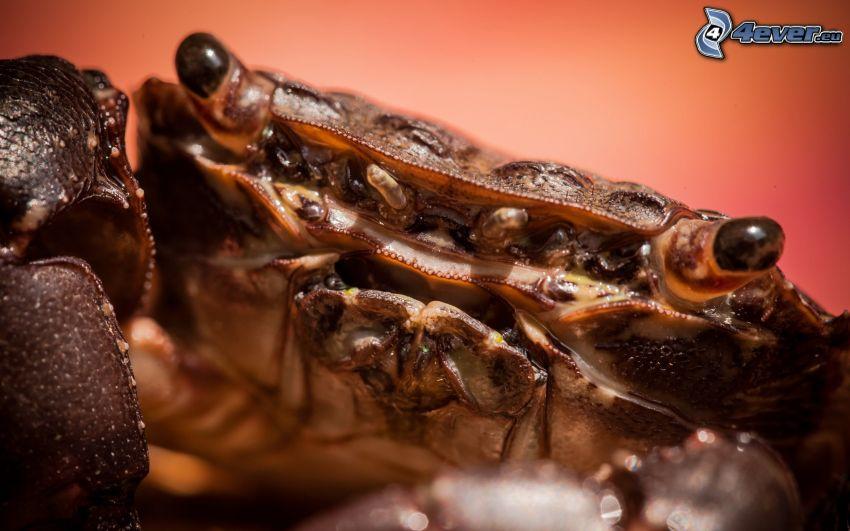 crab, macro