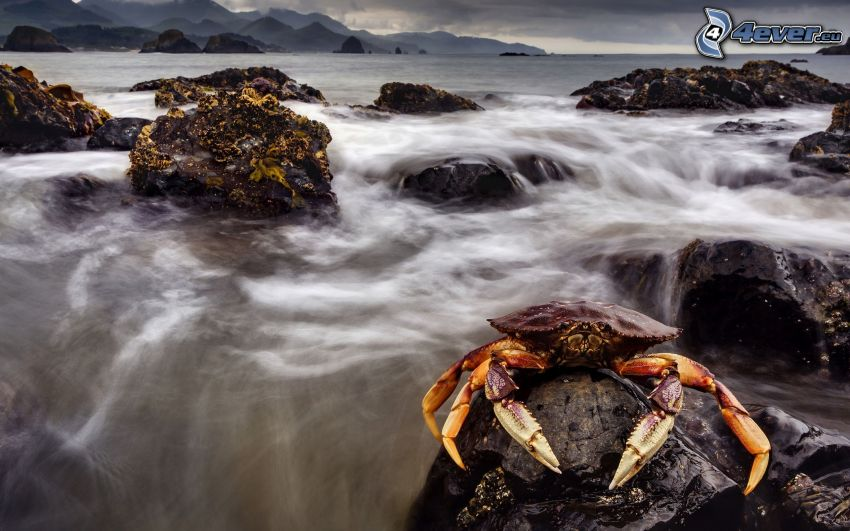 crab, rock in the sea