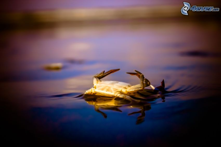 crab, water