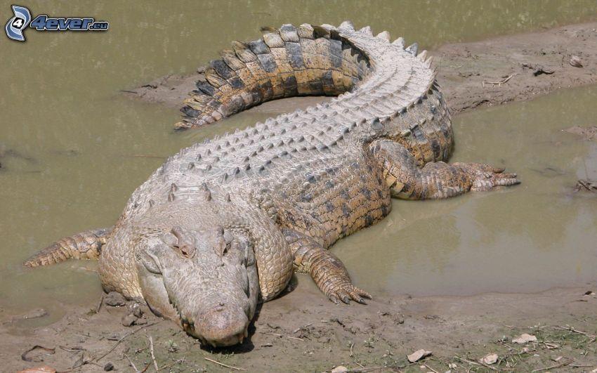 crocodile, mud, water