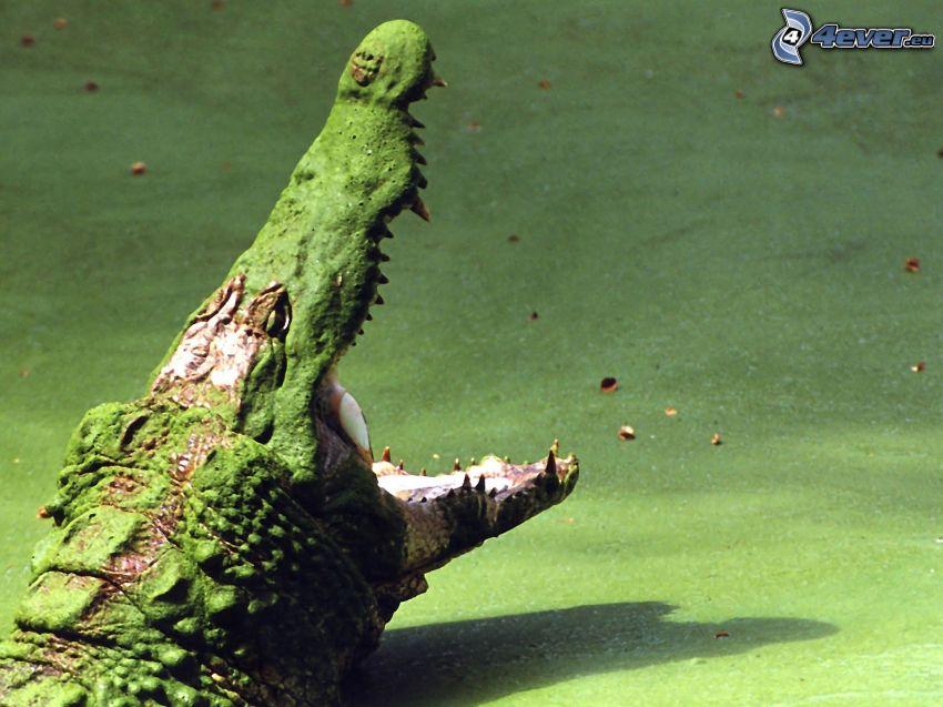 crocodile, muzzle
