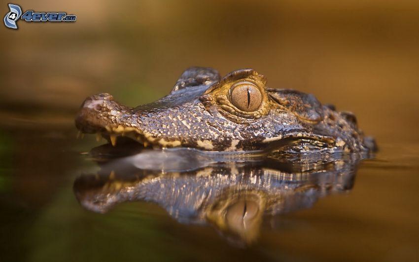 crocodile, water