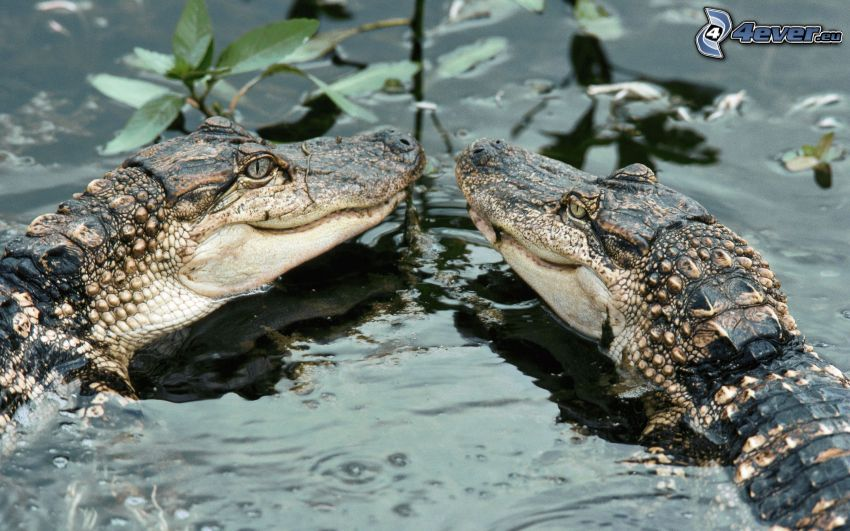 crocodiles, water