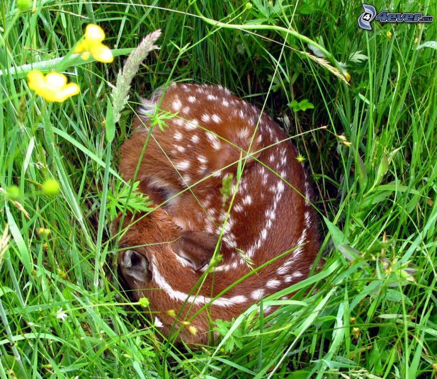 cub deer, grass