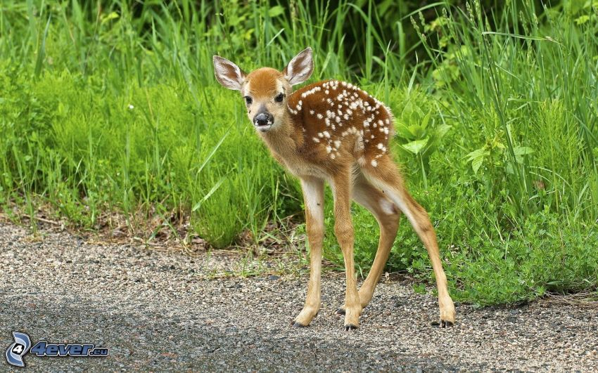 cub deer, high grass