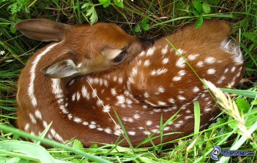 cub deer