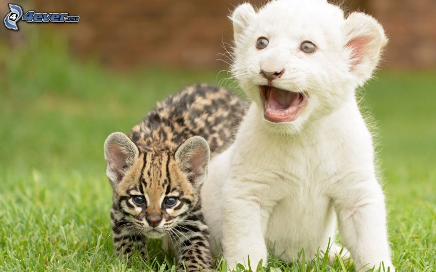cubs, leopard